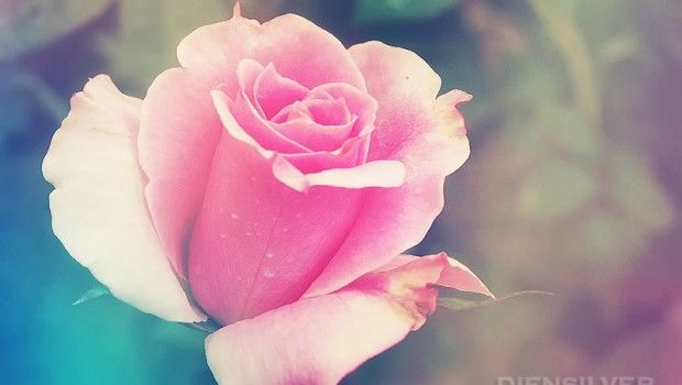 romantic_rose_by_diensilver-d5dzc0q-620x350